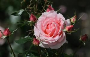 9 Rose1